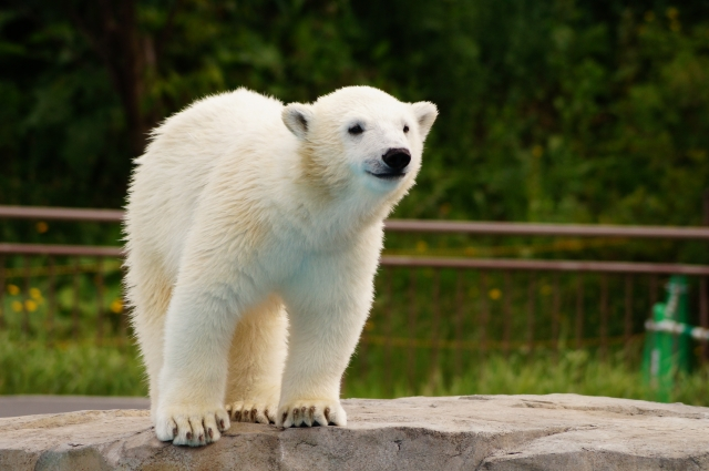 旭山動物園の割引情報2019!ベネフィットや前売り券、年パスなどお得なクーポンはどれ?