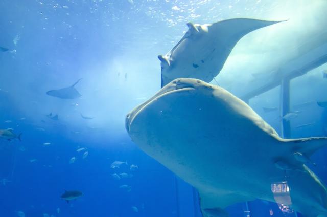 美ら海水族館の割引クーポン情報2019!前売り券やjaf、JTBなど最安値入館料はどれ?